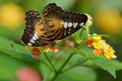 Papillon de tondeuse de Brown Photographie stock