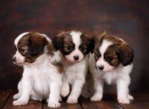 Papillon de três Puppys Imagens de Stock