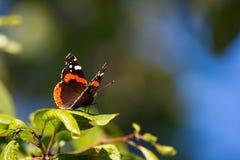 Papillon de Vanessa Atalanta Photographie stock libre de droits