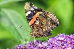 Papillon de Vanessa Atalanta Photographie stock