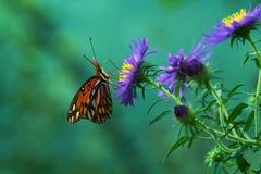 Papillon de vanillae d'Agraulis Photos libres de droits