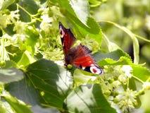 Papillon de virgaureae de Lycaena sur le limettier de floraison Image stock