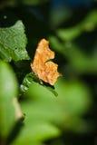 Papillon de virgule photographie stock libre de droits