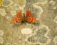 Papillon de virgule Images libres de droits