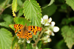 Papillon de virgule (c-album de Polygonia) Images libres de droits