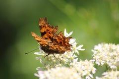Papillon de virgule photo libre de droits