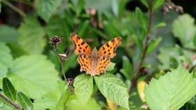 Papillon de virgule sur les feuilles vertes, Hollande banque de vidéos