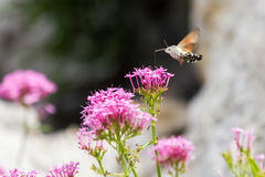 Papillon de vol Image libre de droits