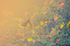 Papillon de vol et fleurs de haie Guindineau d'or de Birdwing Images libres de droits