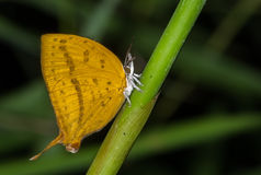 Papillon de Yamfly Image libre de droits