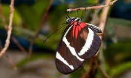 Papillon de zèbre de Longwing Photos libres de droits