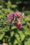 Papillon de Zenit photographie stock