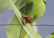 papillon Deux-repéré de capitaine Images stock