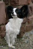 Papillon dog. Frontal close-up of a curious papillon dog royalty free stock images