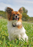 Papillon dog. Portrait of a purebred papillon dog sitting in a field royalty free stock images