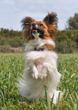 Papillon dog Stock Photo