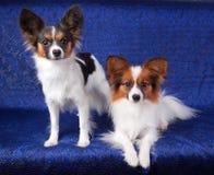 Papillon dog Royalty Free Stock Photo