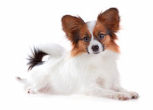 Papillon dog. Isolated on a white background stock photos
