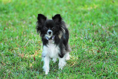 Papillon Dog. A photo taken on a papillon toy dog roaming in an open field stock photos