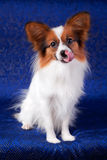 Papillon dog. Portrait Papillon dog on a blue background royalty free stock photo