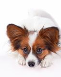 Papillon dog. Isolated on a white background stock photography