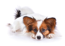 Papillon dog. Isolated on a white background royalty free stock photos