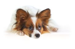 Papillon dog. On white background stock photography
