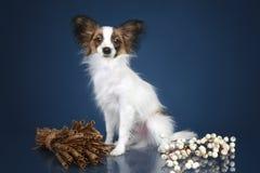 Papillon dog Royalty Free Stock Image