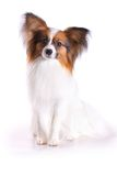 Papillon dog. Dog of breed papillon on a white background stock photos
