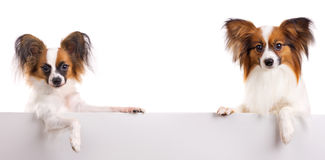Papillon Dog. Two dog of breed papillon isolated on a white background stock image