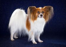 Papillon dog. Breed on dark blue background royalty free stock images