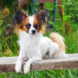 Papillon dog. Portrait young dog breed Papillon royalty free stock images