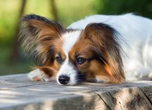 Papillon Dog. Portrait of dog breeds Papillon stock images