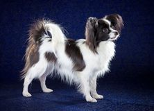 Papillon dog. Breed on dark blue background stock image