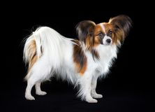 Papillon dog. Dog breed Papillon on a black background royalty free stock photos