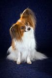 Papillon dog. Breed on dark blue background stock photo