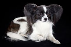 Papillon dog. Dog breed Papillon on a black background stock photo