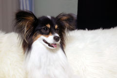 Papillon Dog. A papillon dog sitting on a couch stock images