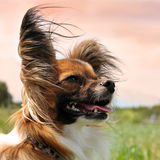 Papillon dog. Portrait of a purebred papillon dog in the evening light royalty free stock image