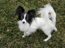 Papillon dog. Cute toy spaniel papillon dog on grass stock photos