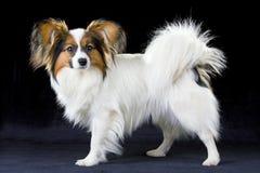 Papillon dog Royalty Free Stock Photography