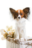 Papillon dog in basket with flowers on isolated white Royalty Free Stock Photo