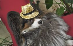 Papillon dog in beautiful suit in a fur coat and a concert hat with a butterfly is removed in the clip royalty free stock photo