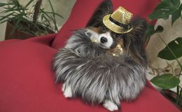Papillon dog in beautiful suit in a fur coat and a concert hat with a butterfly is removed in the clip stock images