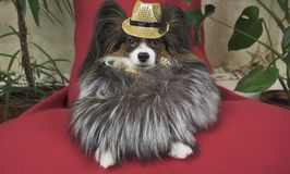 Papillon dog in beautiful suit in a fur coat and a concert hat with a butterfly is removed in the clip royalty free stock photos