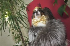 Papillon dog in beautiful suit in a fur coat and a concert hat with a butterfly is removed in the clip royalty free stock images