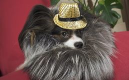 Papillon dog in beautiful suit in a fur coat and a concert hat with a butterfly is removed in the clip stock image
