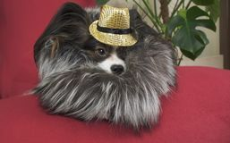 Papillon dog in beautiful suit in a fur coat and a concert hat with a butterfly is removed in the clip royalty free stock photography