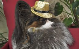 Papillon dog in beautiful suit in a fur coat and a concert hat with a butterfly is removed in the clip stock photography