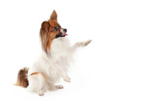 Papillon Dog Begging. A profile of a cute Papillon dog sitting with paws up to shake or beg for a treat Stock Photo